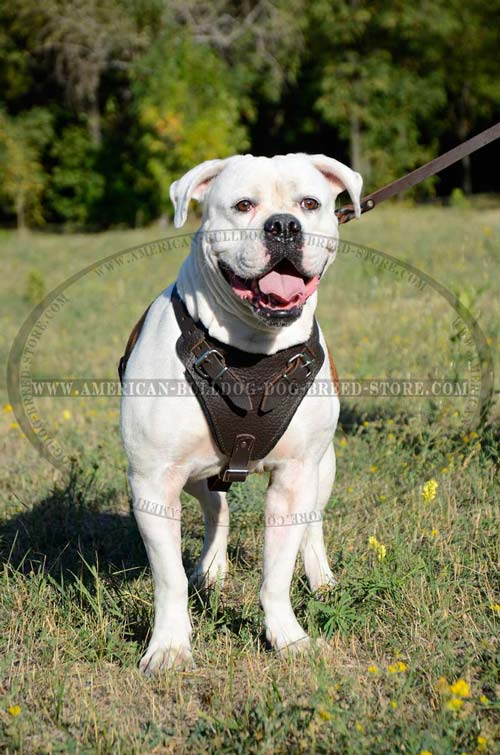 Adjustable Leather American Bulldog Harness