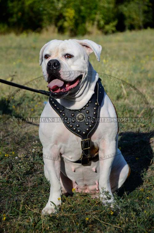 Leather American Bulldog Harness with Fahsion Studs