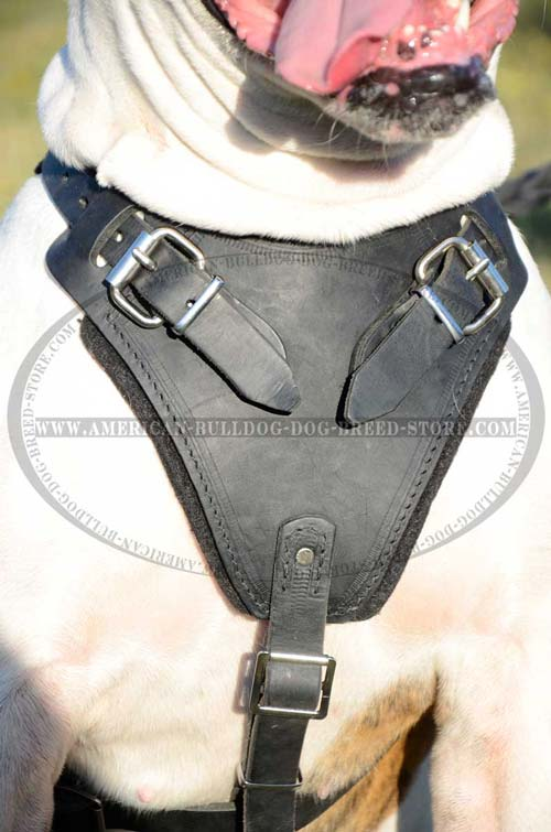 Padded Chest Plate for American Bulldog Comfort