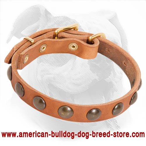 Designer Leather American Bulldog Collar with Brass Studs for Puppy Walking