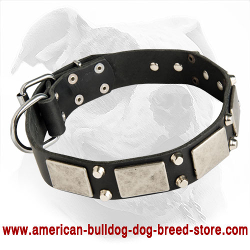 Designer Leather Dog Collar with Nickel Plates and Pyramids for American Bulldog