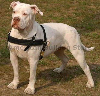 American bulldog leather dog harness click here