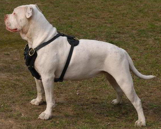 American Bulldog training dog harness click here!!!