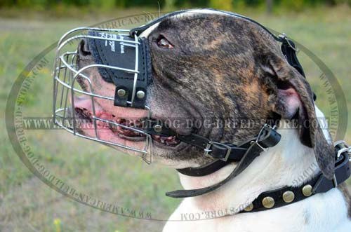 Perfect air flow muzzle for American Bulldog
